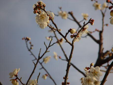 やっと見つけた梅の開花−1.jpg