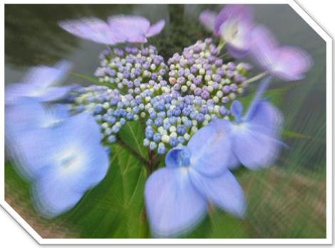 加工した紫陽花-2.jpg