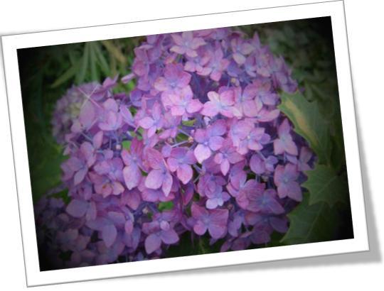 加工した紫陽花-4.jpg