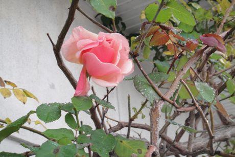 季節はずれのバラ.jpg
