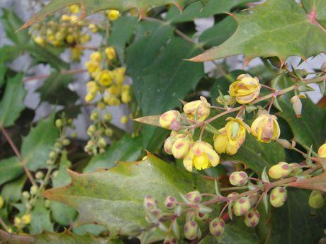 我が家のヒイラギの花−1.jpg