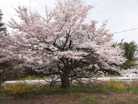 本社横の桜.jpg