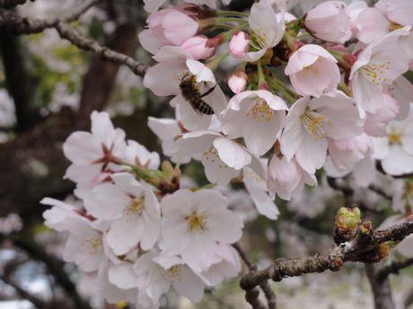 本社横の桜−4.jpg