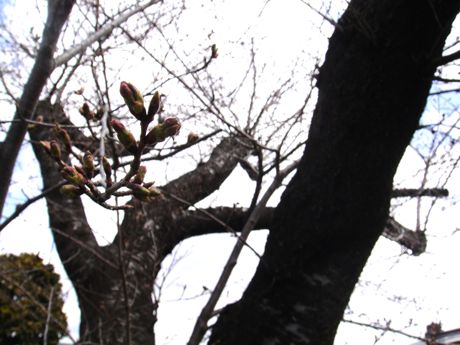 桜の蕾−1.jpg