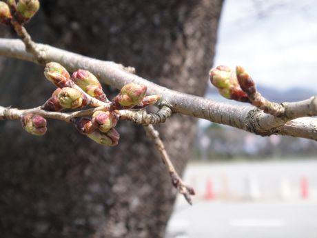 桜の蕾−2.jpg