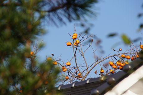 近くの家の柿.jpg