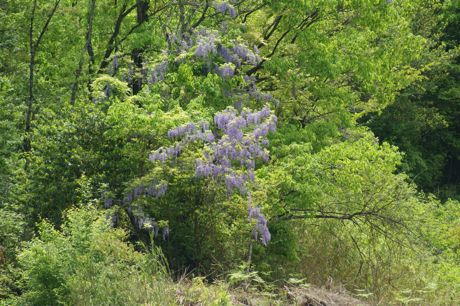 里山に咲く藤も−1.jpg